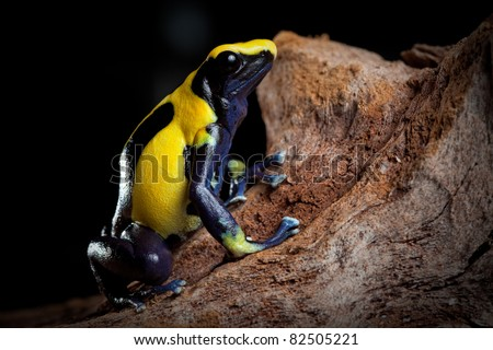 poison dart frog with bright blue yellow colors a real jewel of the amazon rain forest. Dendrobates tinctorius. Exotic pet animal in terrarium. - stock photo