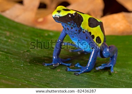poison dart frog with bright vivid  blue green colors. Beautiful amazon rain forest amphibian of the Brazil tropical jungle. Pet animal kept in terrarium. - stock photo