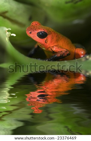 Poison frog Dendrobates pumilio from Costa Rica - stock photo