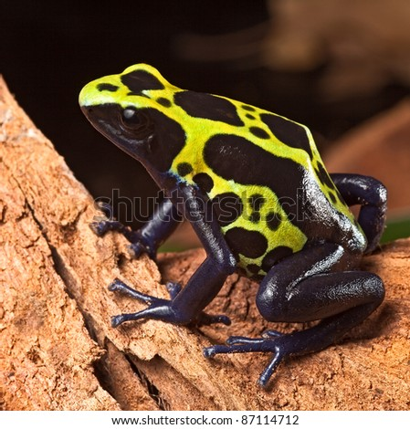 poison frog or dart frog with bright vivid colors beautiful amphibian pet of the amazon rain forest Dendrobates tinctorius a poisonous animal - stock photo