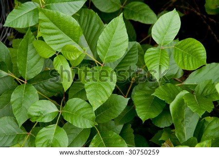 Poison Ivy - stock photo