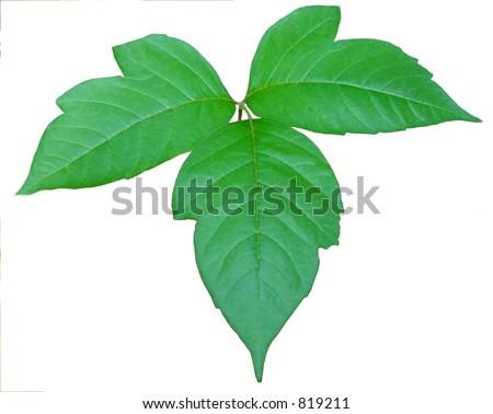 Poison Ivy - stock photo