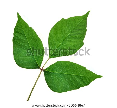 Poison Ivy leaves (Toxicodendron radicans) on a white background. - stock photo