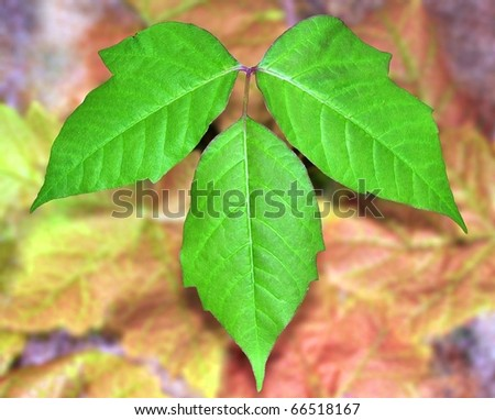 Poison Ivy Leaves (Toxicodendron radicans). Spring Poison Ivy leaves. - stock photo
