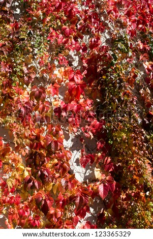 poison ivy leaves turning red and yellow in the fall - stock photo