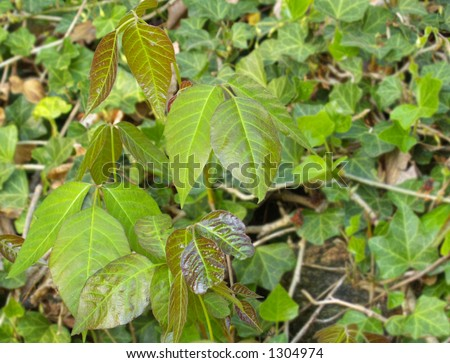 Poison ivy plant growing in a patch of English ivy - stock photo