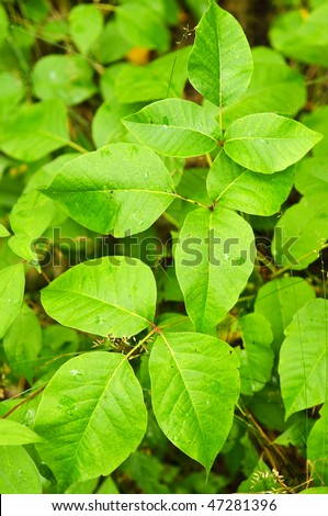 Poison ivy plants growing in forest - common poisonous plant in North America - stock photo