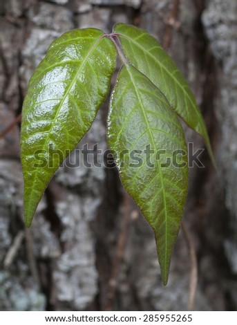 Poison ivy that is crawling up the bark of a pine tree - stock photo