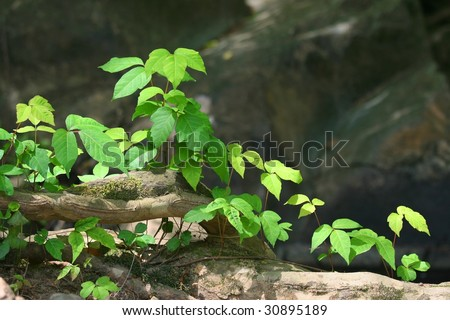 Poison ivy (Toxicodendron radicans)grows beside root in rocky area - stock photo