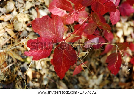 Poison Oak leaves in the green phase, a plant to avoid, because the oil is toxic and cases a rash with blisters - stock photo