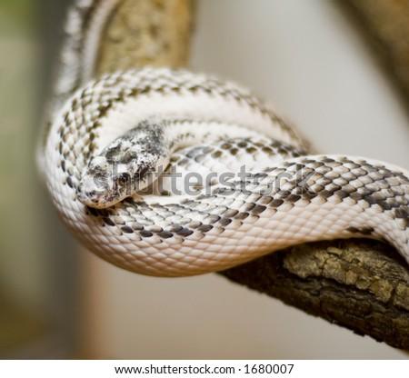 Poison snake - stock photo