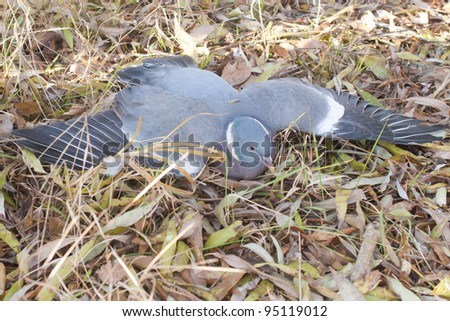 Poisoned Pigeon by treated seeds in agriculture (felt on the ground) - stock photo