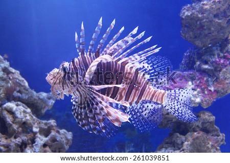 Poisonous fish lionfish - stock photo
