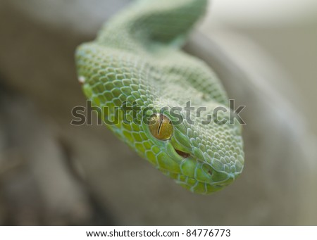 Poisonous Green Snake with yellow eyes Vogel's Pit Viper (Trimeresurus vogeli) Coiled Ready to Strike - stock photo