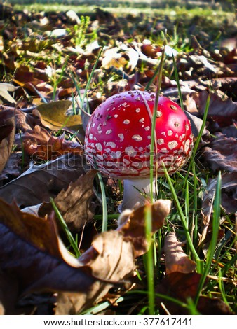 Poisonous mushroom- red with white spot