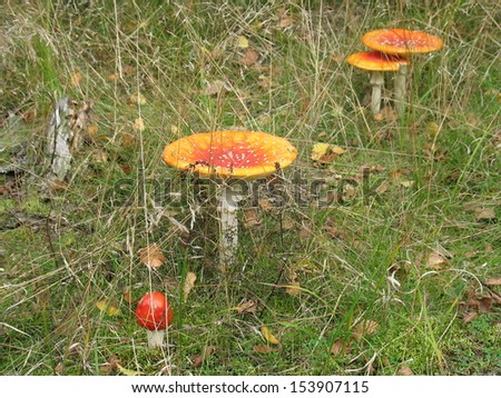Poisonous mushrooms in grass - stock photo