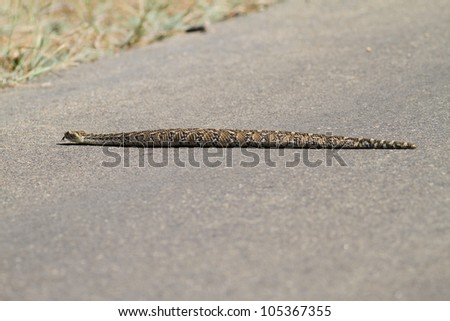 Poisonous puffadder snake from South Africa - stock photo