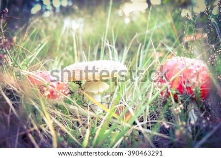 Poisonous red fly mushroom (amanita) - stock photo
