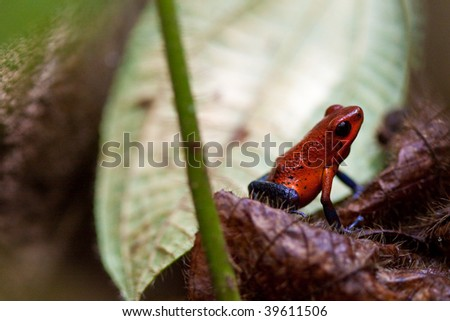 Poisonous small red and blue frog sitting on stone