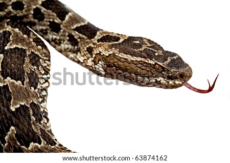 poisonous snake fer de lance or bothrops flickering its thong deadly dangerous animal poison snake venomous snake venom serpent isolated viper from amazon rain forest tropical  jungle - stock photo