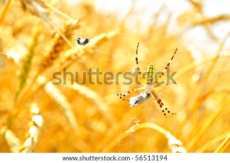 Poisonous spider eats its prey, the wheat field - stock photo