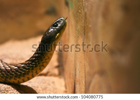 Poisonous Tiger snake rearing up