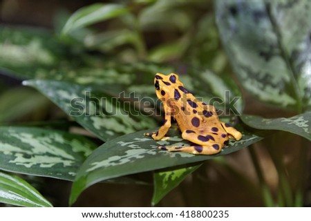 Poisonous yellow and brown Panamanian golden frog on green tropical leaves. - stock photo