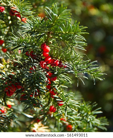 Poisonous Yew tree with red berries in sunlight - stock photo