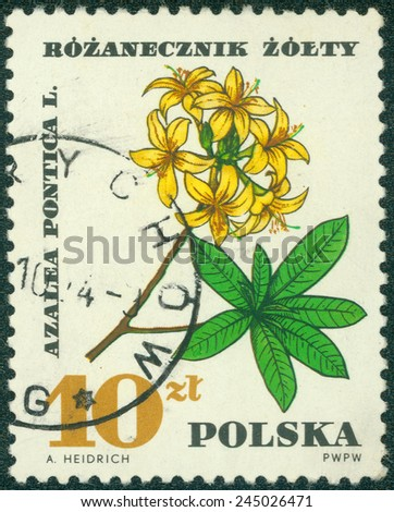 """POLAND - CIRCA 1967: A stamp printed in Poland shows Azalea Pontica, with the same inscription, from the series """"Medical Plant"""", circa 1967 - stock photo"""
