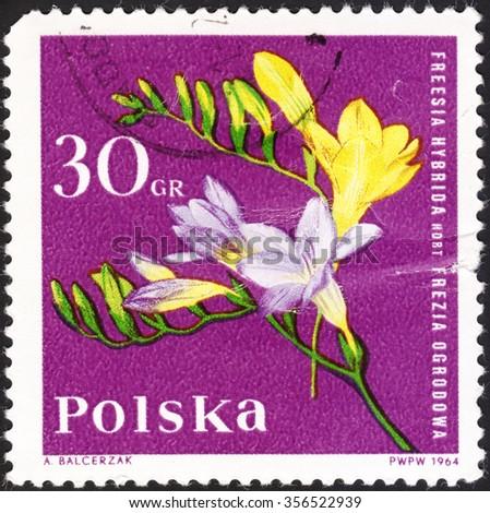 "POLAND - CIRCA 1964: A stamp printed in Poland shows freesia flower with the inscription ""Freesia Hybrida"", the series ""Garden Flowers"", circa 1964 - stock photo"