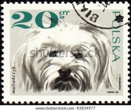 POLAND - CIRCA 1968: A stamp printed in Poland shows Maltese dog, circa 1968 - stock photo