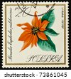 POLAND - CIRCA 1966: A stamp printed in Poland shows poinsettia, series, circa 1966 - stock photo