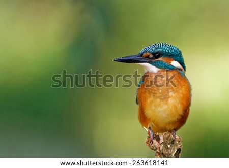 Poland in July.Common Kingfisher on the hunting position and he is looking on the right.In the background green of leaves - stock photo