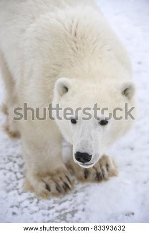 Polar Bear. - stock photo