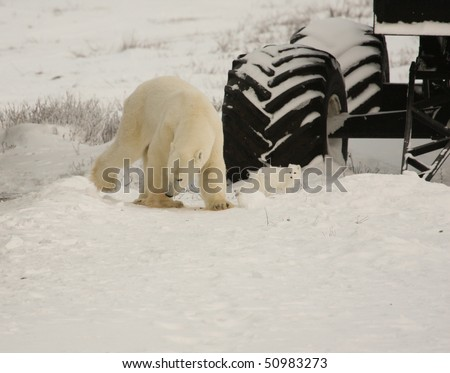 Polar bear and arctic fox share the food chain near Hudson Bay, Canada - stock photo