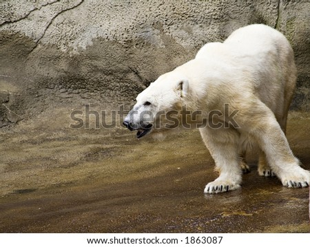 Polar Bear at the Cleveland Zoo. - stock photo