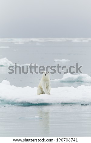 Polar bear at  the Svalbards - stock photo