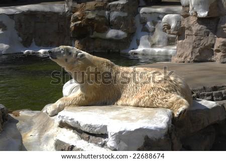 polar bear at zoo - stock photo