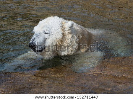 Polar bear basking in the sun