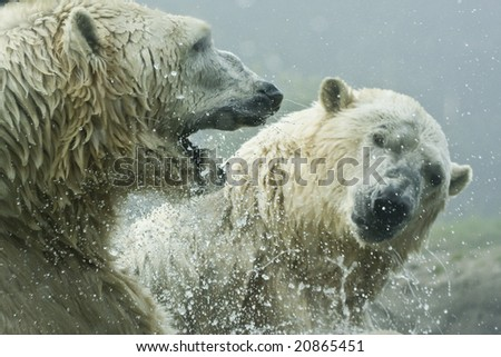 Polar Bear Battle - stock photo