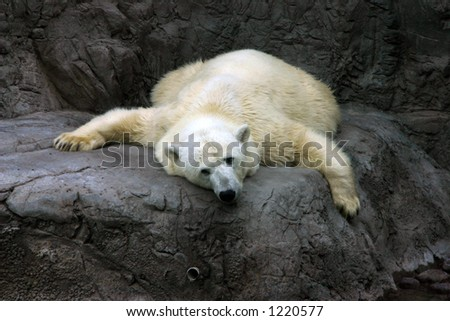 Polar bear bored and looking that way - stock photo