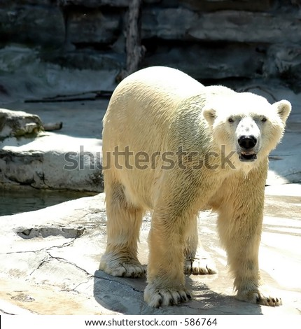Polar bear,Buffalo Zoo,Buffalo,New York