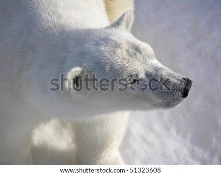 Polar bear catching the first morning lights showing perfect texture of the fur, close-up, low key and soft. - stock photo