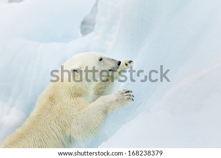 Polar bear climbing photographed in the Svalbard