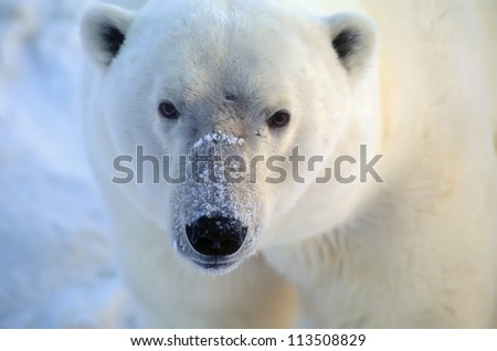 Polar bear closeup head shot - stock photo