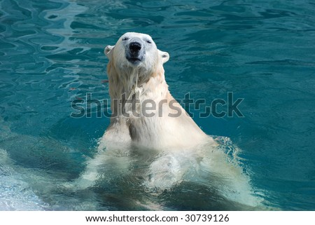 Polar Bear coming out of the water - stock photo