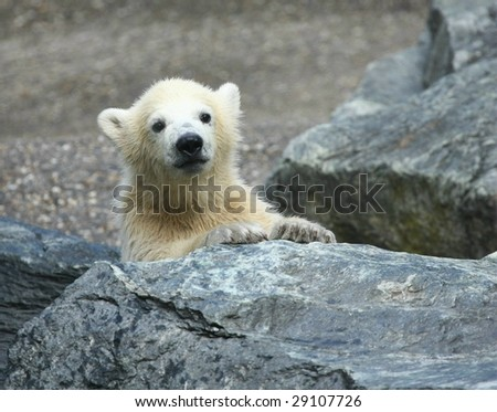 polar bear cub - stock photo
