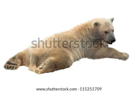 Polar bear cub lying on his belly isolated on white