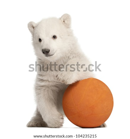 Polar bear cub, Ursus maritimus, 3 months old, playing with orange ball against white background - stock photo