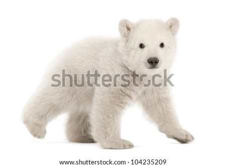 Polar bear cub, Ursus maritimus, 3 months old, walking against white background - stock photo